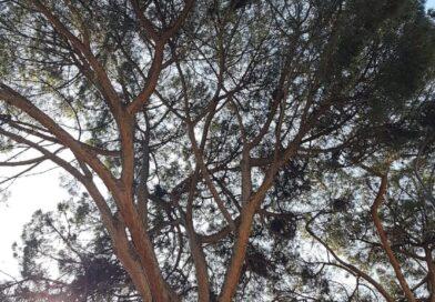Appello di comitati e associazioni: la cocciniglia che uccide i pini si può curare, serve 'lotta obbligatoria'