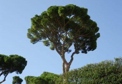 Per la cura dei pini malati forse anche un ritardo può rivelarsi utile